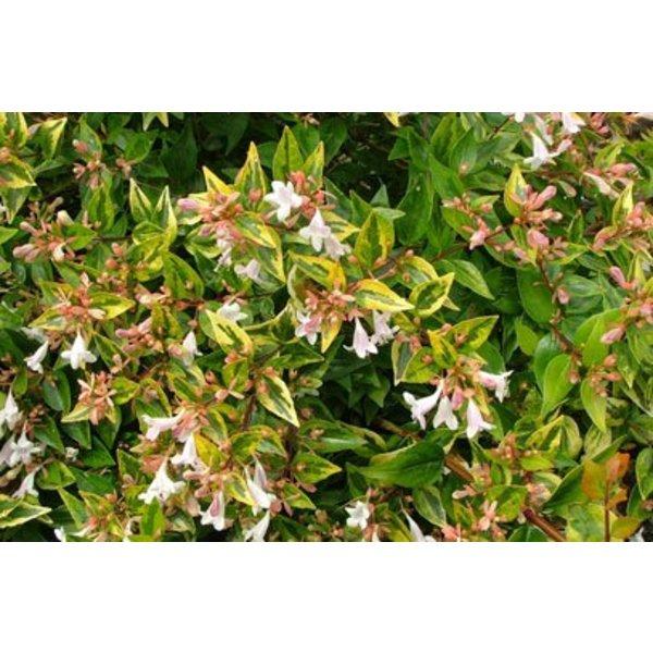 Abelia Grandiflora Francis Mason Eenvoudig En Snel Online