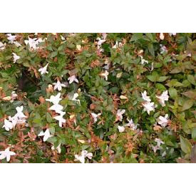 "Fleur.nl - Abelia Grandiflora ""Prostrata"""