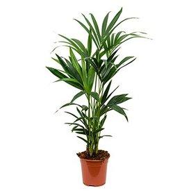 Fleur.nl - Palm Kentia Howea small