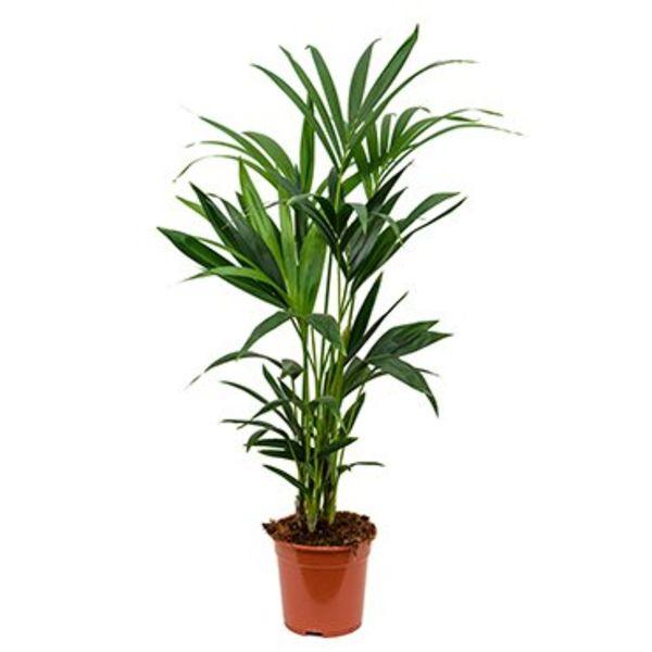 Palm Kentia Howea small