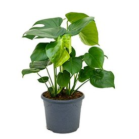Fleur.nl - Monstera Gatenplant Medium