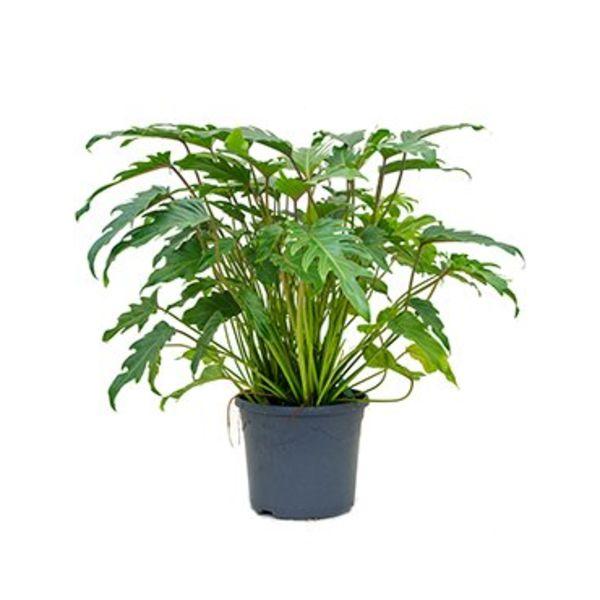 Philodendron Xanadu Bush medium