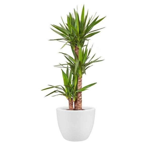 Elho Yucca in pot Wheels