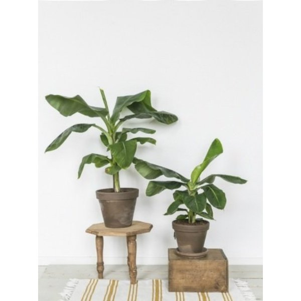Bananenplant musa medium