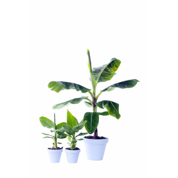 Bananenplant musa medium - 70 cm