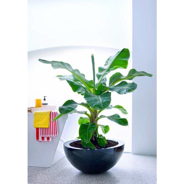 Bananenplant musa Large