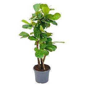 Fleur.nl - Ficus Lyrata vertakt medium