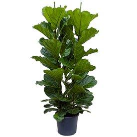Fleur.nl - Ficus Lyrata straight Large