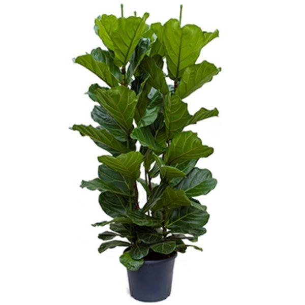 Ficus Lyrata straight Large