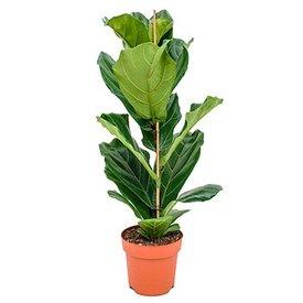 Fleur.nl - Ficus Lyrata straight Small