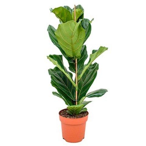 Ficus Lyrata straight Small