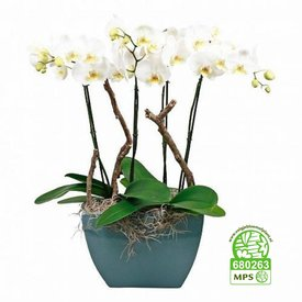Fleur.nl - Orchidee Robusto White
