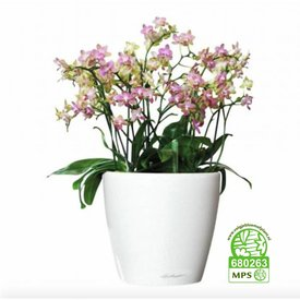 Fleur.nl - Orchidee little pink in watergevende pot