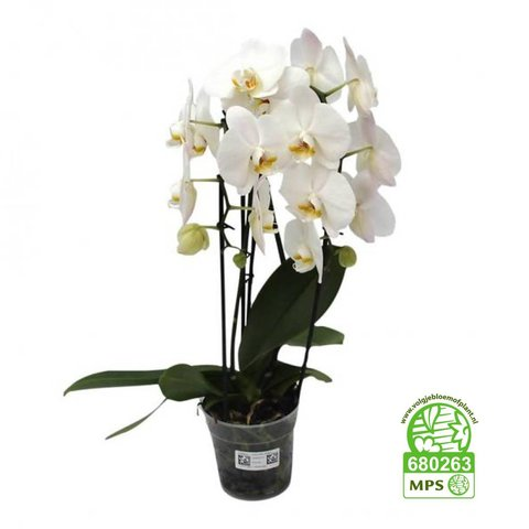 Orchidee White Cascade