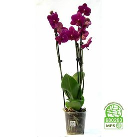 Fleur.nl - Orchidee Purple