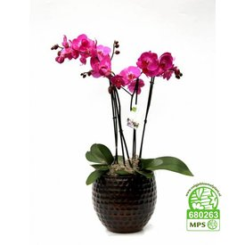 Fleur.nl - Orchidee Palmas Purple in pot brown