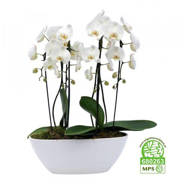 Orchidee White cascade Twin in schaal