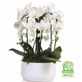 Fleur.nl - Orchidee White Diamond Crown