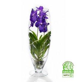 Fleur.nl - Vanda in Vase Majestic