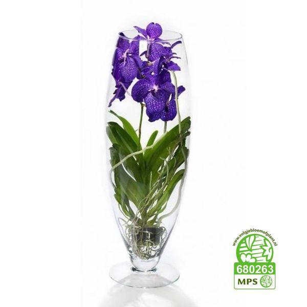 Vanda in Vase Majestic