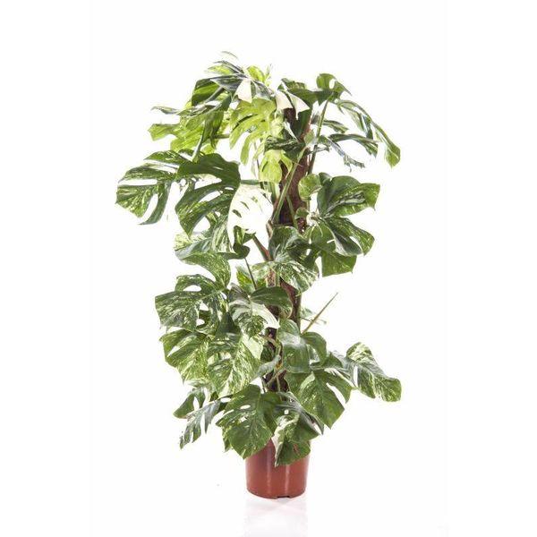 Monstera Deliciosa Bont variegatum