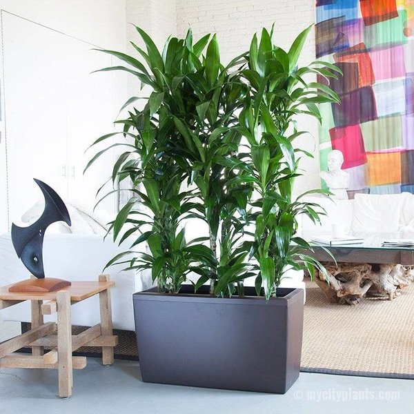 Lechuza Dracaena in watergevende pot Cararo