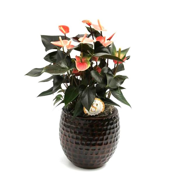 Anthurium Oranje large in keramische pot
