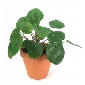 Fleur.nl - Pilea Pannenkoekplant in terracotta