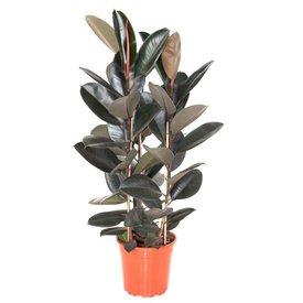 Fleur.nl - Ficus Elastica Abidjan medium
