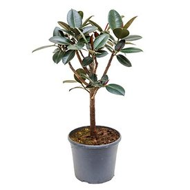 Fleur.nl - Ficus Elastica Abidjan vertakt medium