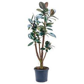 Fleur.nl - Ficus Elastica Abidjan vertakt Large