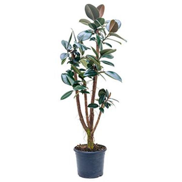 Ficus Elastica Abidjan vertakt Large