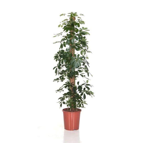 Schefflera Arboricola met Stam