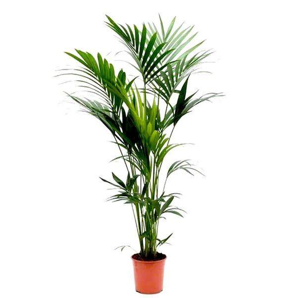 Palm Kenta Howea Large