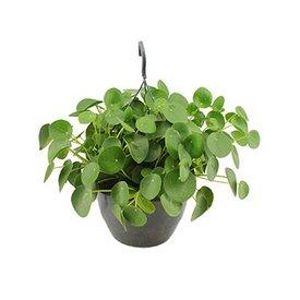 Fleur.nl - Pilea Pannenkoekplant hangplant