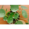 Pilea Pannenkoekplant hangplant