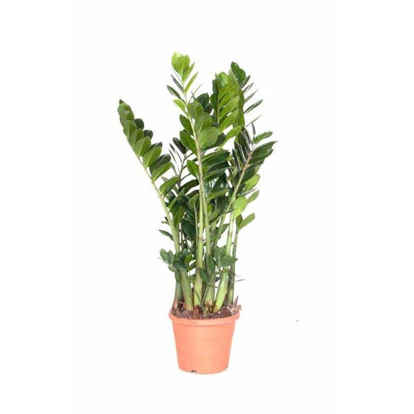 Zamioculcas Zamiifolia small