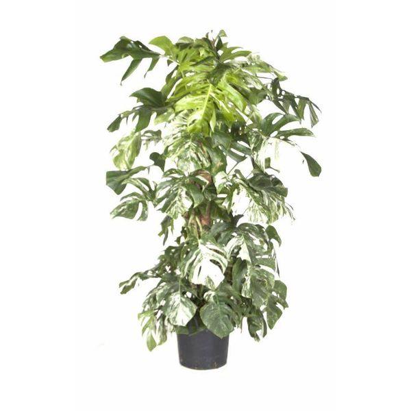 Monstera Deliciosa Bont variegatum XL