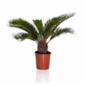 Fleur.nl - Cycas Palm Revolta large