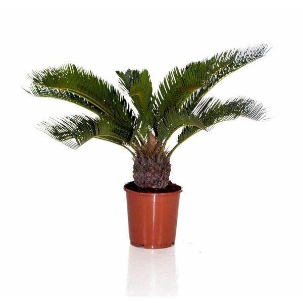 Cycas Palm Revoluta large