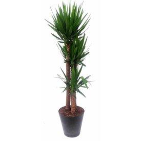 Fleur.nl - Yucca Elephantipes xl met Artstone pot Antaciet