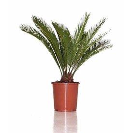 Fleur.nl - Cycas Palm medium