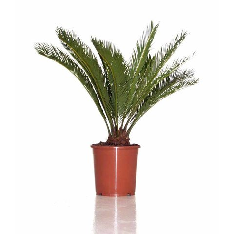 Cycas Palm medium