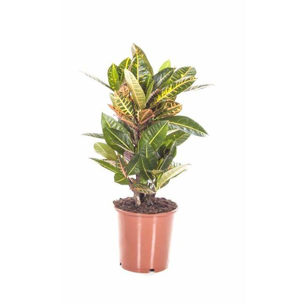 Croton struik Nerve medium