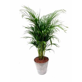 Fleur.nl - Palm Areca Lutenscens in Pot Artstone grijs Medium