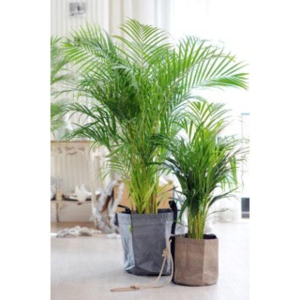 Palm Areca Lutenscens in Pot Artstone grijs Medium