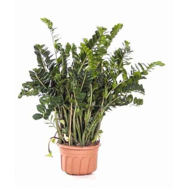 Zamioculcas Zamiifolia XXL