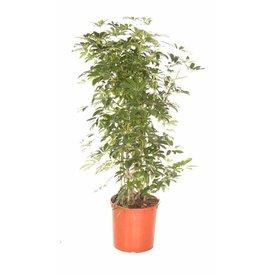 Fleur.nl - Schefflera arboricola XL