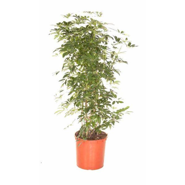 Schefflera arboricola XL