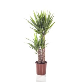 Fleur.nl - Yucca Elephantipes Palmlelie toef medium